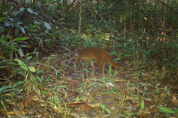 Kucing Merah Langka Pertama Kali Tertangkap Kamera di Hutan Kalimantan