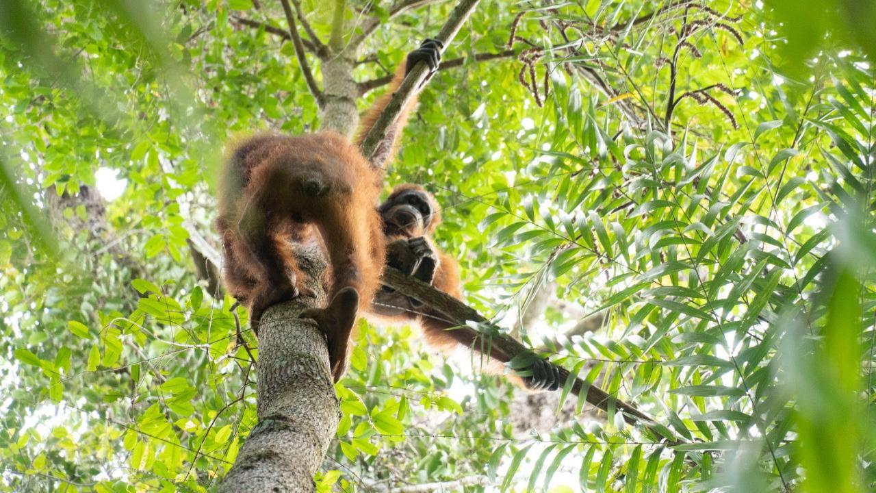 Kisah 3 Hari Perjalanan Menerabas Hutan Demi Kembalikan Orangutan ke Habitatnya