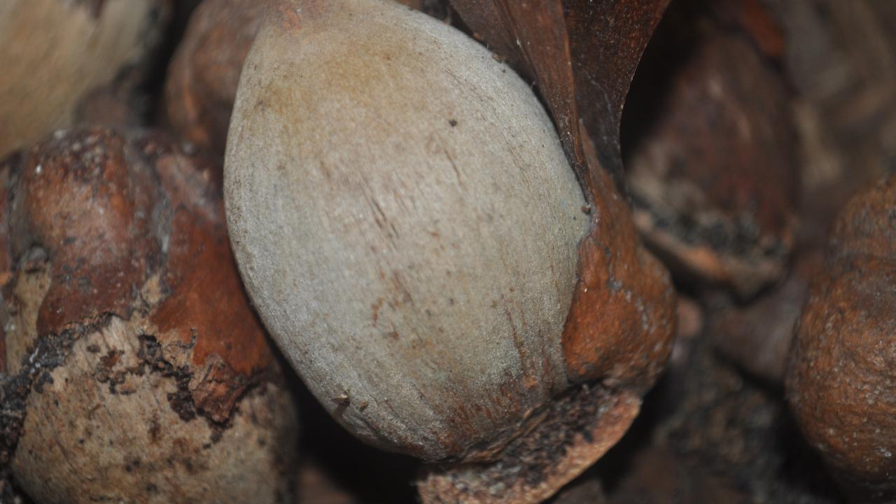 Tengkawang: Ekologi, Nilai Sosial-Budaya dan Ekonomi Hutan Adat Borneo (Bagian II)